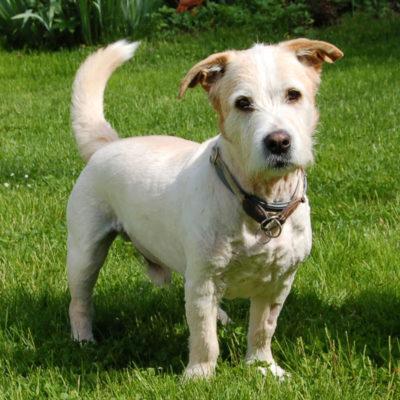 Patenhund * Pitt